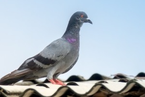 Pigeon Control, Pest Control in East Ham, Beckton, E6. Call Now 020 8166 9746