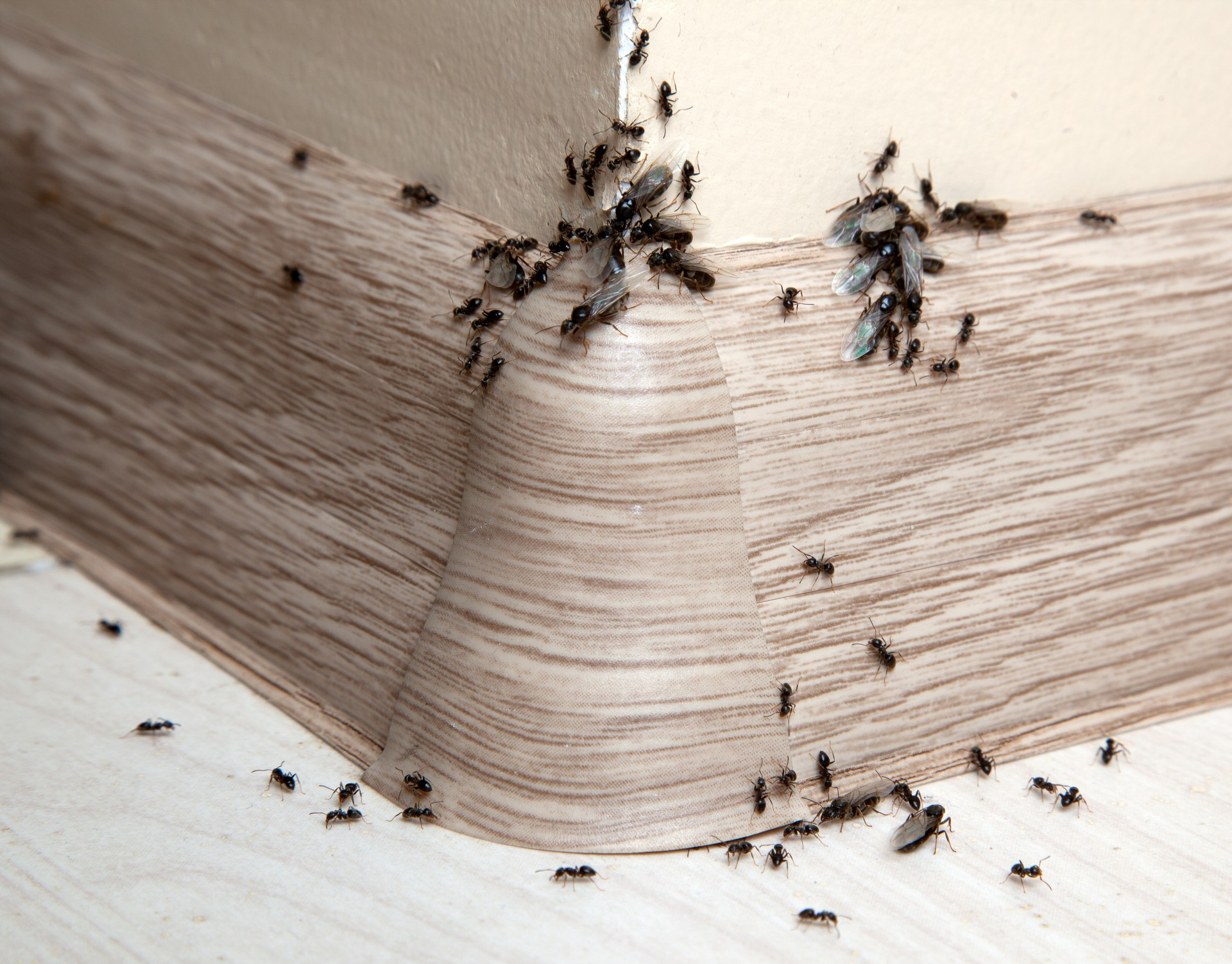 Ant Infestation, Pest Control in East Ham, Beckton, E6. Call Now 020 8166 9746