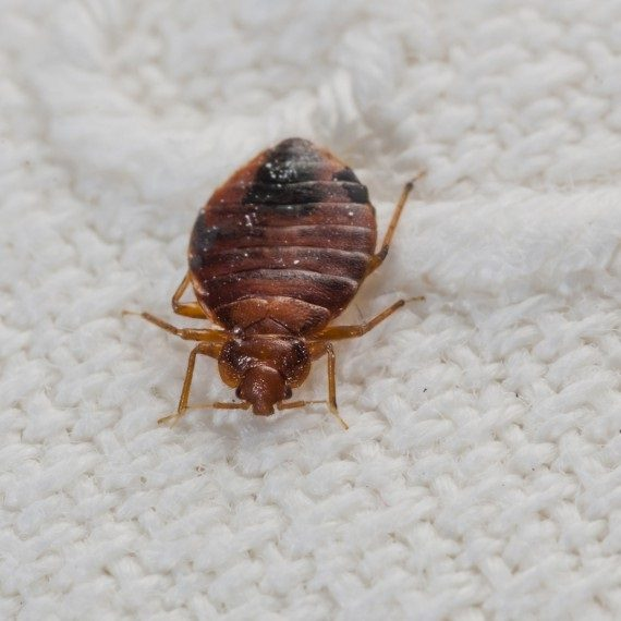 Bed Bugs, Pest Control in East Ham, Beckton, E6. Call Now! 020 8166 9746