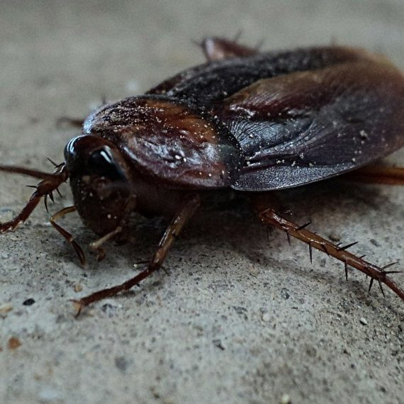 Cockroaches, Pest Control in East Ham, Beckton, E6. Call Now! 020 8166 9746