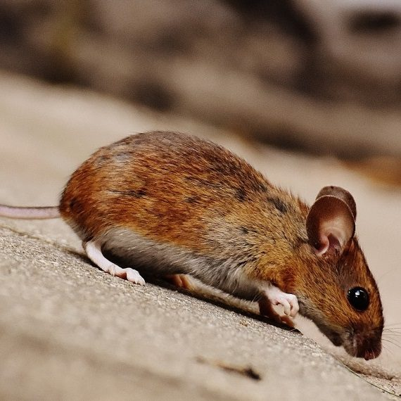 Mice, Pest Control in East Ham, Beckton, E6. Call Now! 020 8166 9746