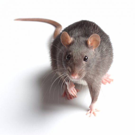 Rats, Pest Control in East Ham, Beckton, E6. Call Now! 020 8166 9746